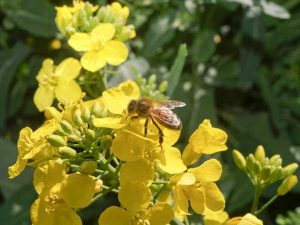 Bee in rape flower